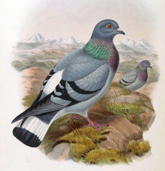 Голубь рисунок для детей. Простые срисовки с голубями.