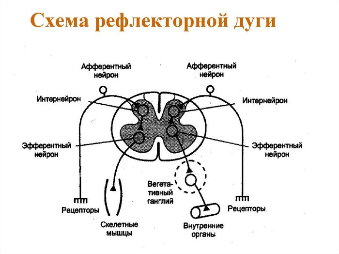 Картинка рефлекторна дуга