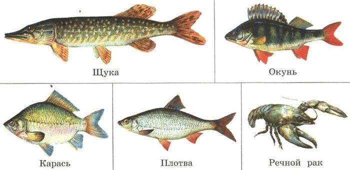 карась класс рыбы