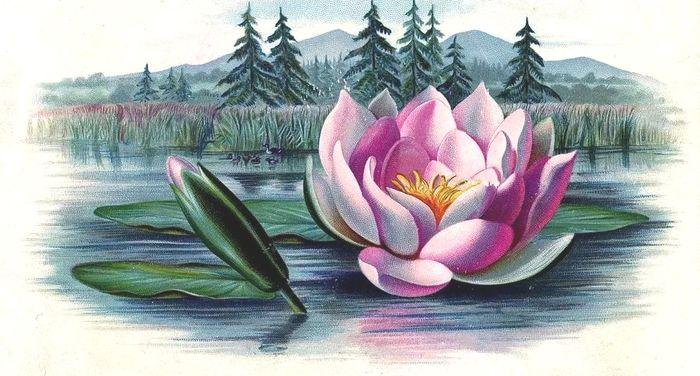 Рисунок кувшинки на воде цветными карандашами и красками.